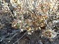 Artemisia pygmaea (6993051427).jpg