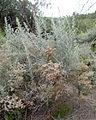Artemisia ramosa kz1.JPG