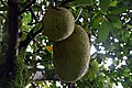 Artocarpus heterophyllus 22zz.jpg