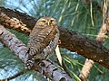 Asian Barred Owlet (Glaucidium cuculoides) (44745458780).jpg