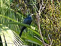 Asian Koel - Eudynamys scolopaceus - P1090249.jpg