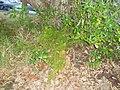 Asparagus aethiopicus 'Sprengeri' L. (AM AK226531-5).jpg