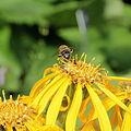 Asteraceae sp.-IMG 6104.jpg