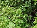 Astragalus chlorostachys (7839393726).jpg