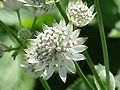 Astrantia major6.jpg