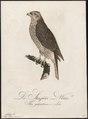 Astur palumbarius - 1800-1812 - Print - Iconographia Zoologica - Special Collections University of Amsterdam - UBA01 IZ18300007.tif