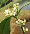 Atalantia racemosa 16.jpg