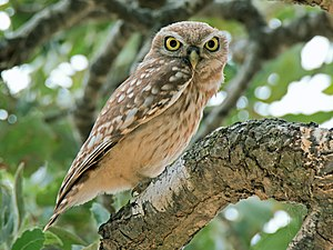 Athene noctua - the little owl.jpg