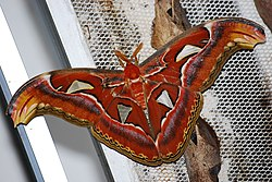 Attacus atlas female Indonezja 001.JPG
