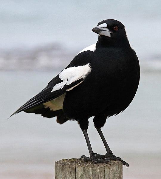 File:Australian Magpie 2, jjron, 5.07.10.jpg