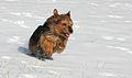 Australian Terrier Krümel.JPG