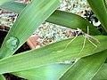 Australian green tree frog and stick insect in Corinda, Queensland, 2020.jpg