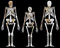 Australopithecus sediba and Lucy.jpg