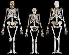 australopithecus sediba - wikipedia, Skeleton
