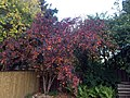 Autumn Crabapple 2 (24305519821).jpg