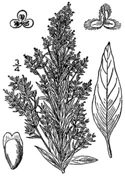 Axyris amaranthoides BB-1913.png
