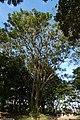 Búcaro (Erythrina fusca) (9) (14222048349).jpg