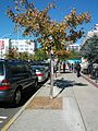 B29 Acer rubrum (Red Maple) Distance.jpg