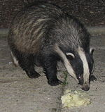Badger Cornwall 3.jpg