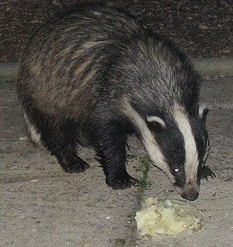 European badger - 150 px