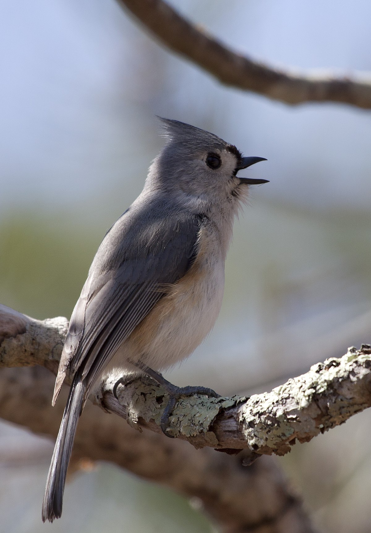 Tufted titmouse wikipedia sciox Images