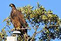 Bald Eagle juvenile, St Laurent Manitoba.jpg