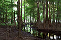 Bald cypress and creek (7166139814).jpg