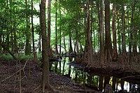 Bald cypress and creek (7166139814).jpg