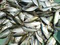 Bangude- Mackerel fish- Mangaluru.png