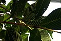 Banisteriopsis caapi 0zz.jpg
