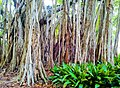 Banyan Trees (22041557).jpeg