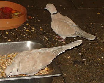 A pair of Ringneck Doves