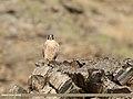 Barbary Falcon (Falco pelegrinoides) (45649233725).jpg