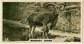 Barbary Sheep 2 (ca 1919-1940).jpg