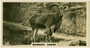 Barbary sheep - In the London Zoo
