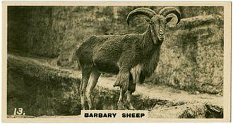 Barbary sheep - In the London Zoo