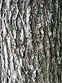 Bark of David Elm Ulmus davidiana.jpg