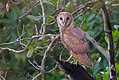 Barn Owl in Sundarban.jpg