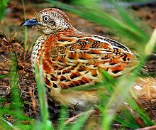Barred Button quail or Common Bustard-Quail (Turnix suscitatior) Photograph By Shantanu Kuveskar.jpg