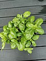 Basil plant in a pot 02.jpg