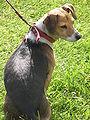 Beagle at Memorial Glade 3.JPG
