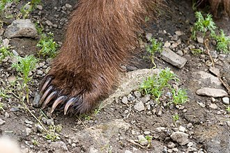 Brown bear - Brown bear claws are longer and less curved than those of black bears