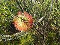 Beaufortia orbifolia (habit).JPG