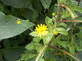 Beautiful Yellow Flower on the way to Lohagadh Fort by NishantAChavan.JPG