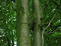 Beech tree trunk inosculation.JPG