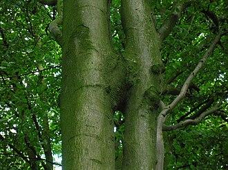 Inosculation - Beech tree trunks conjoined