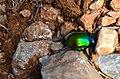 Beetle in contrast.jpg