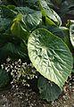 Begonia nelumbiifolia kz3.jpg