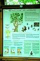 Beheitikolandako haritza Kartela Jaunsarats-en 03.jpg