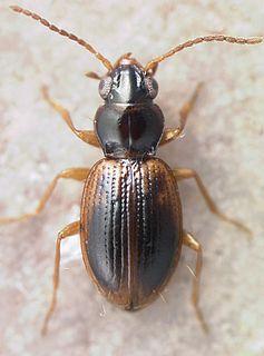 <i>Bembidion semicinctum</i> Species of beetle